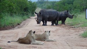 Lions and Rhinos