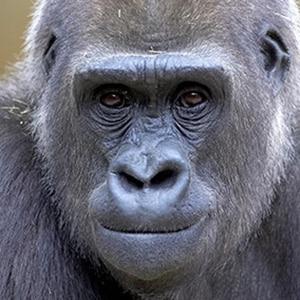 Part1 1 Gorilla