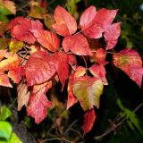 8-10-17-Fall-color-poison-ivy