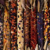 Mulit-Colorful-Sweet-Rainbow-Corn-Seed-Vegetable-Seed-Corn-Grain-Cereals-High-Quality-Germination-Rate-Garden.jpg_640x640